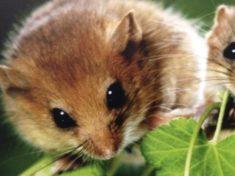 SWV: Das ist die Haselmaus – aber bitteschön was hat das mit Wildbienen zu tun ?