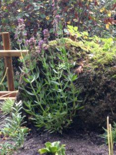 Hotzenwald Naturgarten: Der Hohentwiel Felskopf mit Ysop