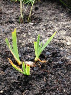 Hohentwiel: Burggartenpflanze 3: Bunte Schwertlilie