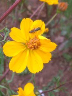 Cosmeen ziehen die Wildbienen an