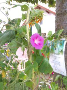 Sonnenblumen-Prunkwinden-Dschungel mit Gewinner-Urkunde