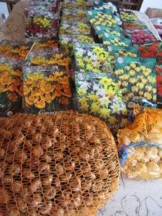 1000 Krokusse und 100 Allium Sphaerocephalon