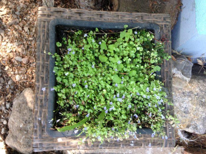 Tipp August: Naturgarten – Minimoor mit Moorglöckchen