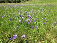 Was für eine Überraschung: Die Wiesenglockenblume (Hotzenwald im August)