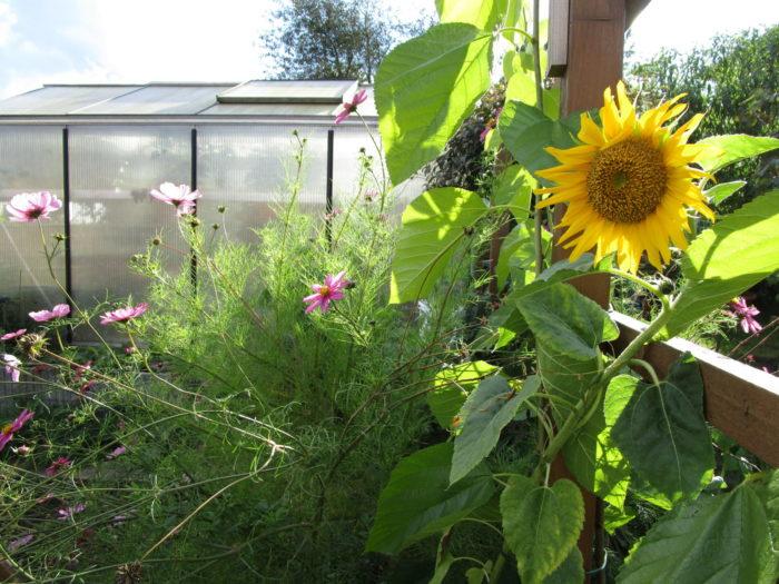Kosmea und Sonnenblume