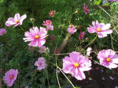 spätsommerliche Cosmea-Blüte