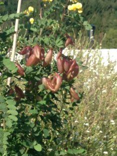 TIPP September – Naturgarten: Der Blasenstrauch