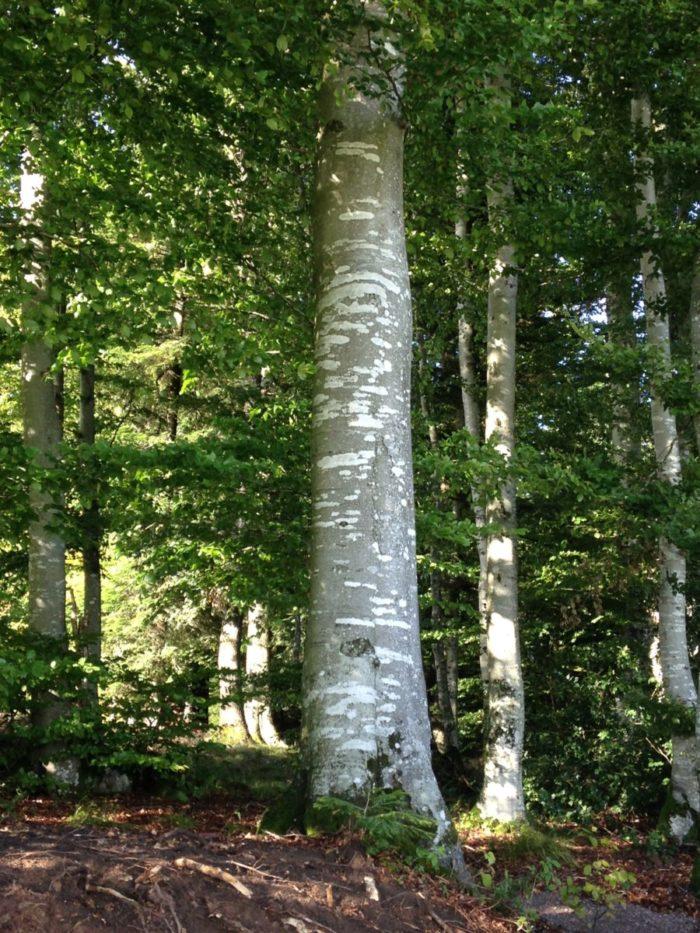 Idee: Hotzenwald Alpenpanorama: Diese mächtige , wunderschöne Buche konnte gerettet werden!