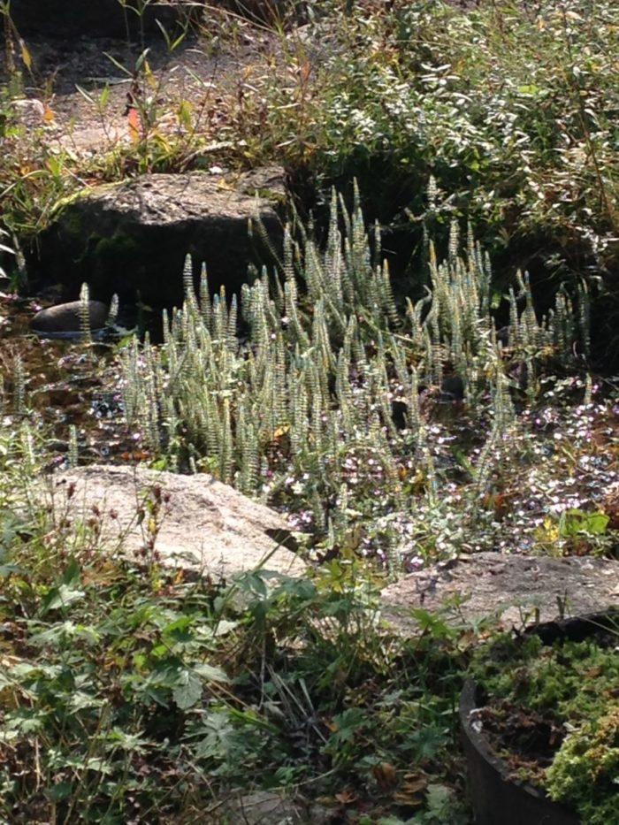 Tipp September – Naturgarten: Tannenwedel – Märchenwald