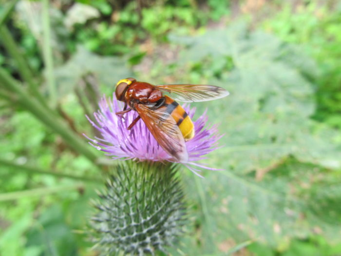Frühlingsbemühungen blühen auf (3/4): Hornissenschwebfliege an Kratzdistel