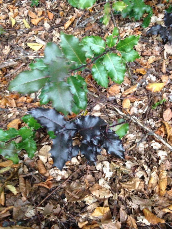 Hotzenwald: Stechpalme in zwei Varianten – grün und purpur
