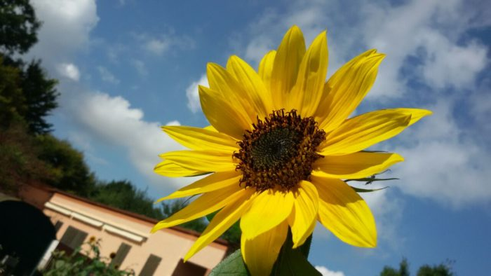 Eine unserer Sonnenblumen