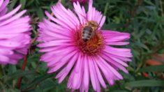 Eine Biene zu Gast auf unserer Herbstaster