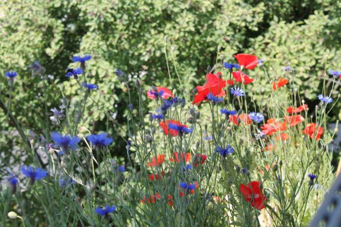 Nachher: Blüte in Magerwiesenkästen Süd