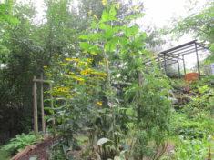 Frühlingsbemühungen blühen auf (4/4): Auswahl an Stauden: Sonnenhut, Becherpflanze, Königskerzen ...