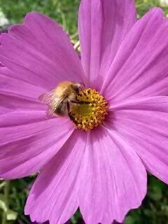 Eine Wildbiene auf der Cosmea.