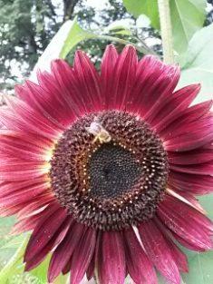 Heutige Biene Nr. 3