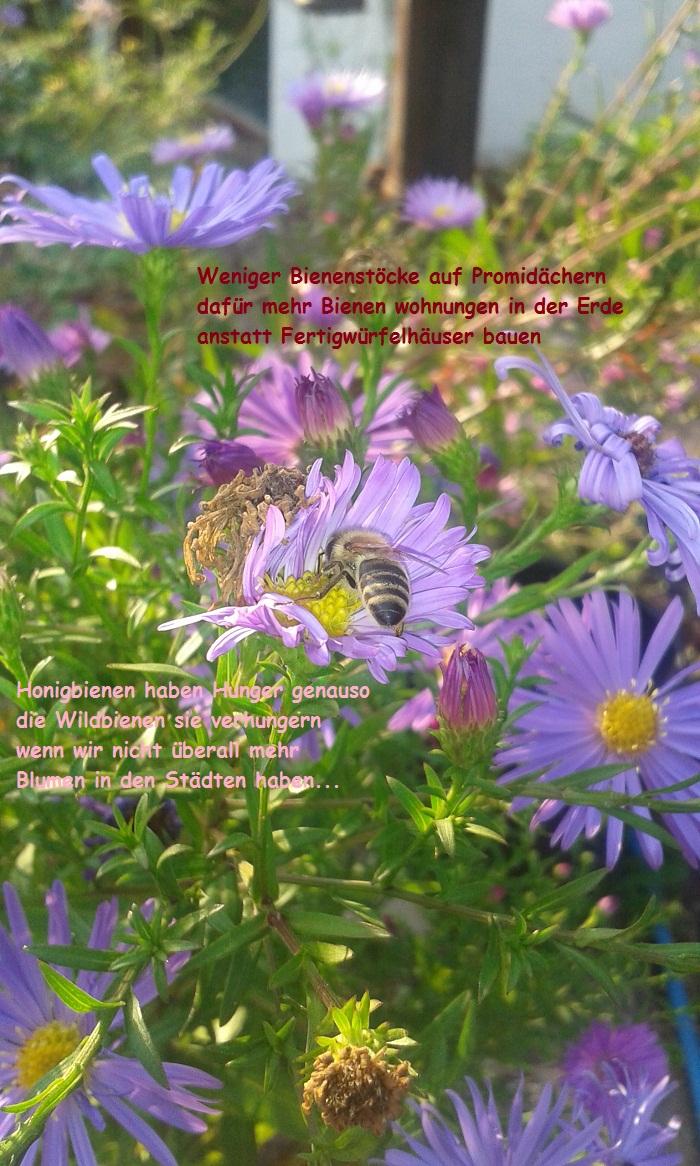 Honigbienen haben Hunger! Wildbienen auch .. ist genug für alle da ??
