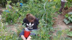 Unkraut entfernen, damit die Tomaten und Gewürze Platz zum Wachsen haben