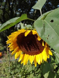 Sonnenblume, so schön….