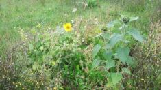 Die erste Sonnenblume erblüht